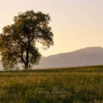 Photo: Edwin MullerSingle tree with a background of mountains