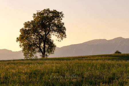 Photo: Edwin Muller Single tree with a background of mountains